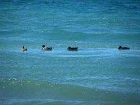 quack quacks