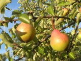 Wild pears along the way