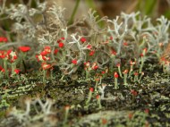 British Soldier lichen. Thanks to Jess for spotting it!