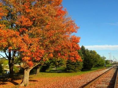 Maple and its leaves on the train tracks in Grayling