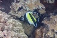 angel fish-2