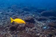 bright yellow reef fish-2
