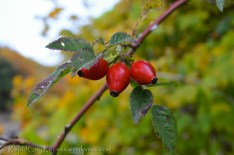 Rose hips, in the fading light after the hike