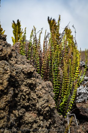 Tiny ferns sprout from frozen lava