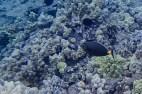 trailing fins reef fish