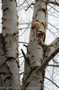 peely paper birch