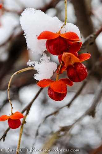 Snow-draped red berries
