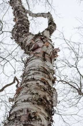 curly bark tree