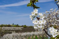 cherry blossoms over orchard and vineyard