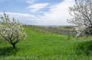 Power Island through cherry trees