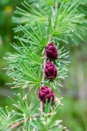 pine roses