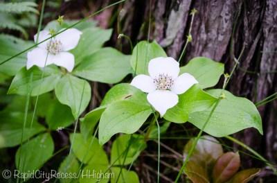 white swampflower