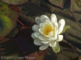 shallow lily