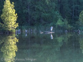 watchful heron-3