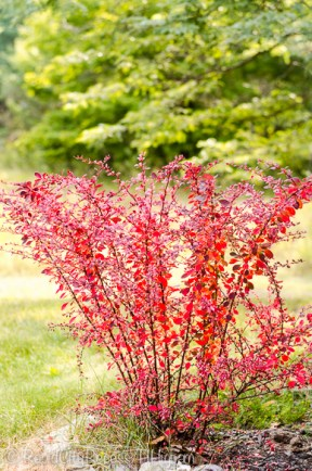 barberry fall-2