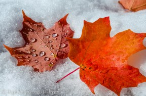 maple leaves and snow