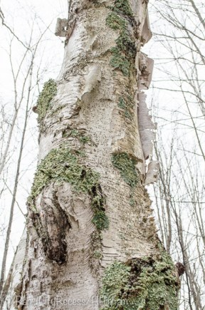 gnarly birch