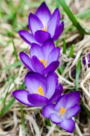 purple crocuses-3