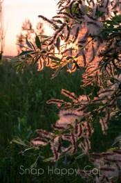 sunlit cotton-y plant
