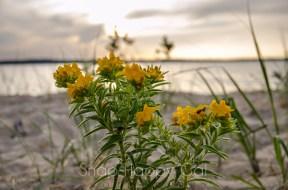 yellow beach wildflower