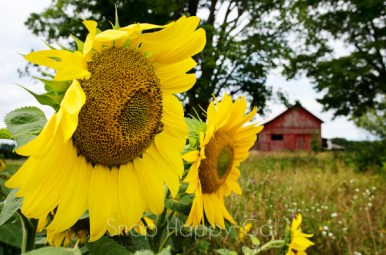 Maple Bay barn and sunflowers