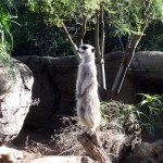 Melbourne over lunch breaks – the meerkat is watching and Costco Bulgogi Bake