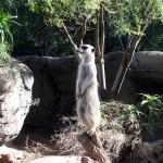 Melbourne over lunch breaks – the meerkat is watching and Costco Bulgogi Bake