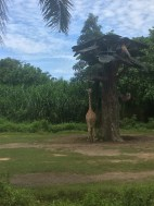 Giraffes at Bali Marine Safari Park