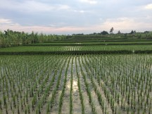 Rice fields by Sukawati