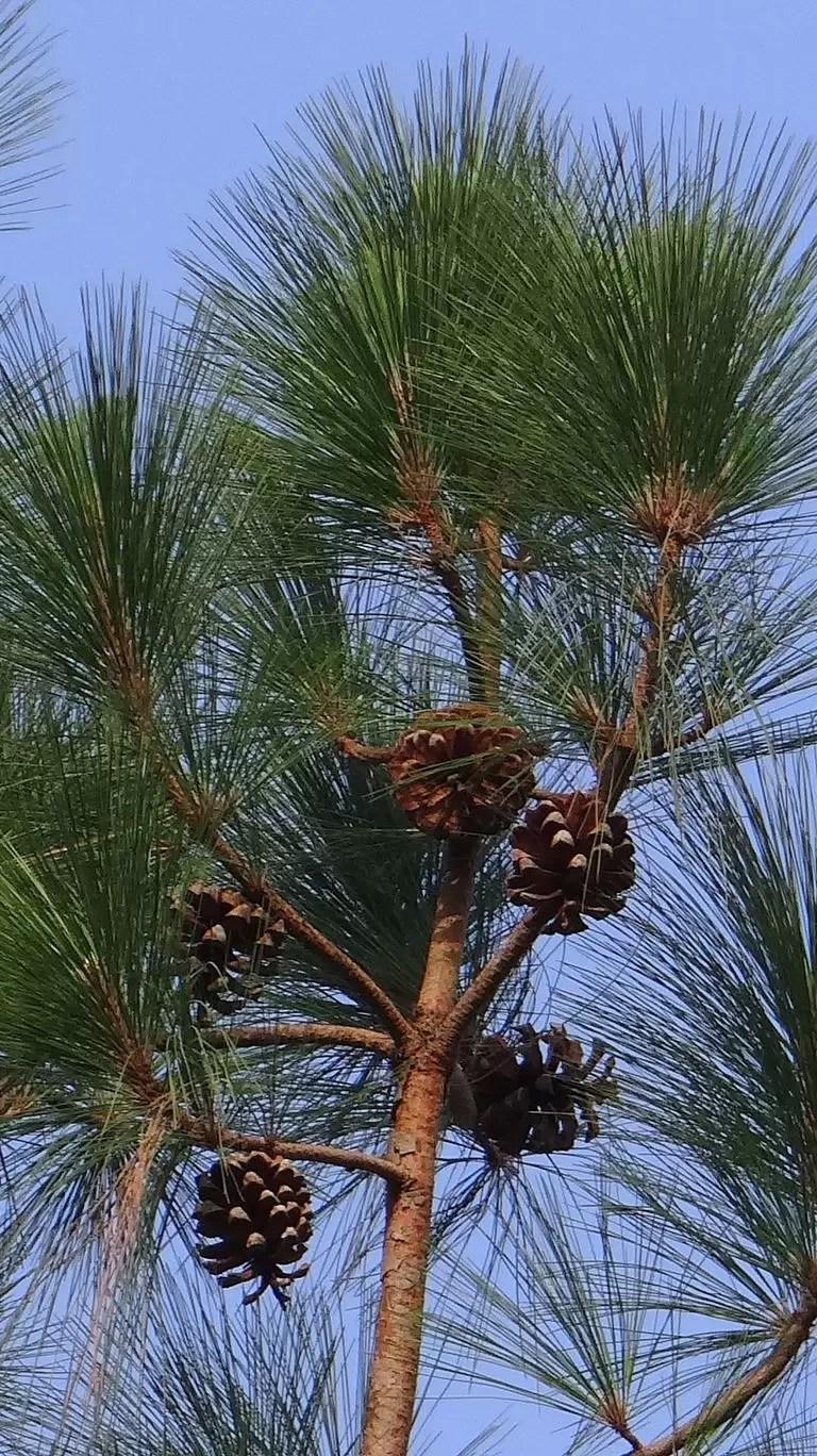 Pinus excelsa