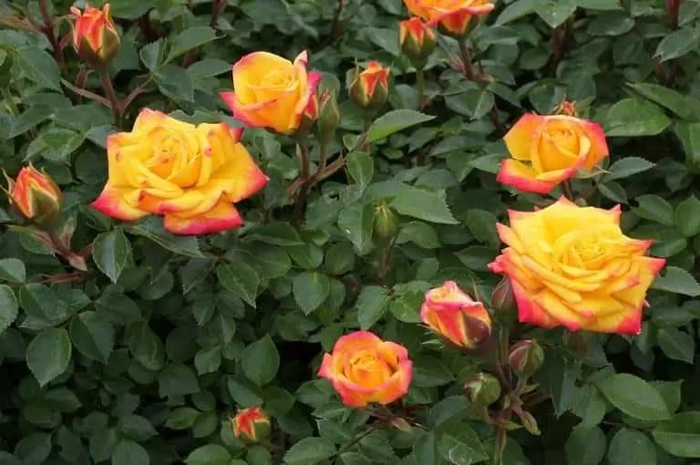 Mini rosa - Mini ruža