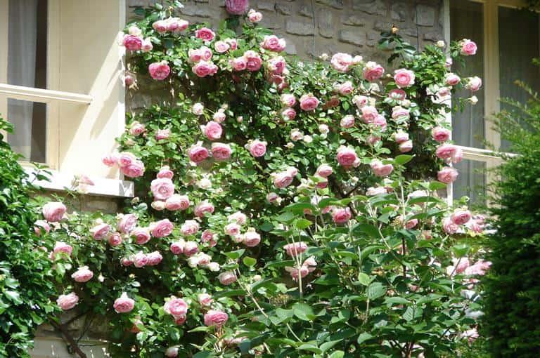 Ruže puzavice - penjačice