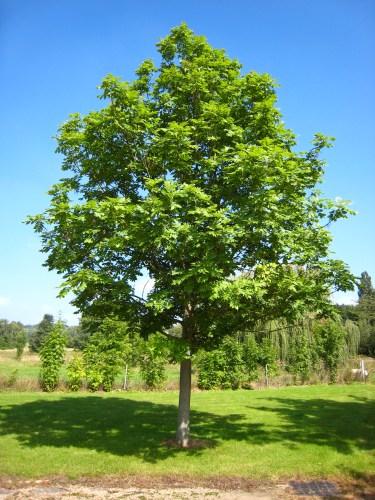 Fraxinus_excelsior_tree