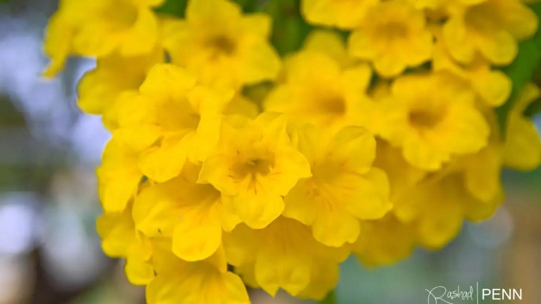 The Yellow Elder Flower  – National Flower of the Bahamas