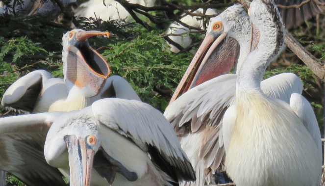 Expressions galore! Pelicans at Uppalapadu Bird Sanctuary