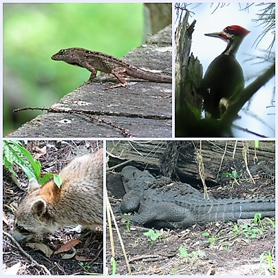 Fauna we spotted in Audubon's Corkscrew swamp sanctuary