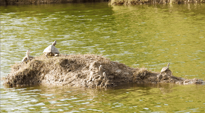 Turtles at the Chambal river sanctuary