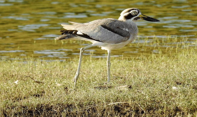 Great Thick-knee at Chambal river sanctuary
