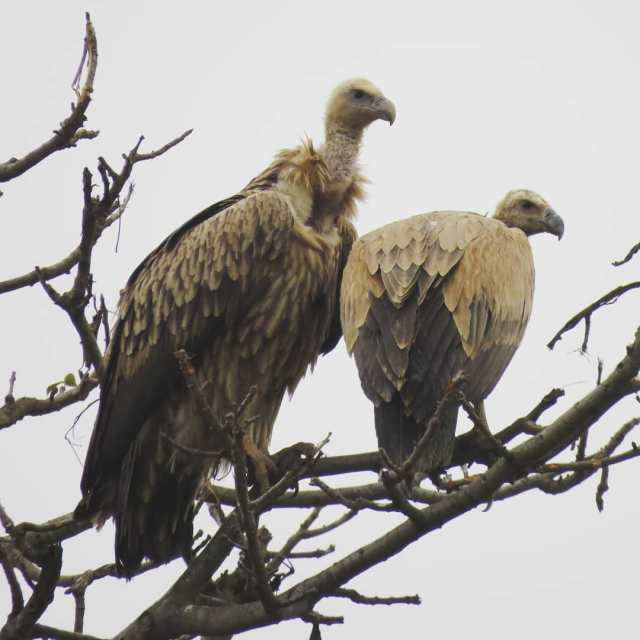 Himalayan griffon vultures in Suhelwa wildlife sanctuary One of thehellip