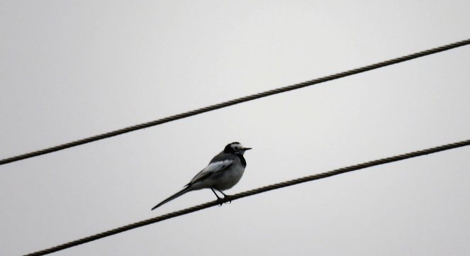 Wagtail on a wire at Suhelwa