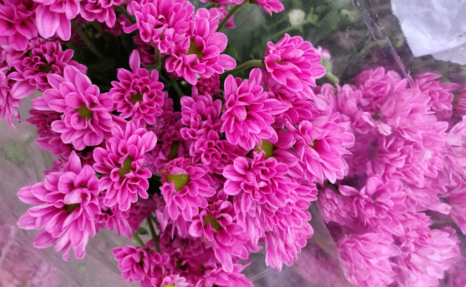 Pink chrysanthemums at Bengaluru Flower market