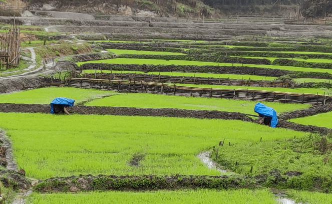 Paddy fields in Ziro