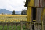 daffidils and old mossy barn