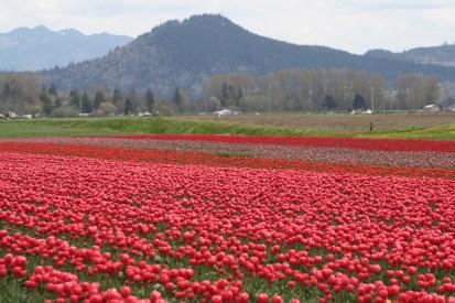 tulips.11 018