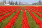 tulips.11 044