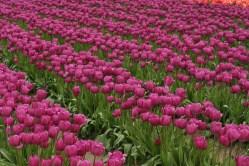 2014-04-15 Tulips-14 111
