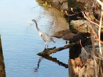 heron at Padden