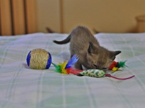 Zdjęcie kotki tonkijskiej