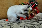 Kotka tonkijska Zuli 26-12-2014