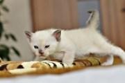 Koty tonkijskie - Nitka 07.02.2016